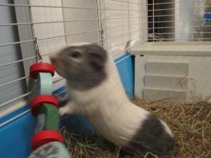 Basil loves his Pigmassy garland chew!