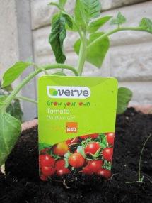 Tommy Tomato plant