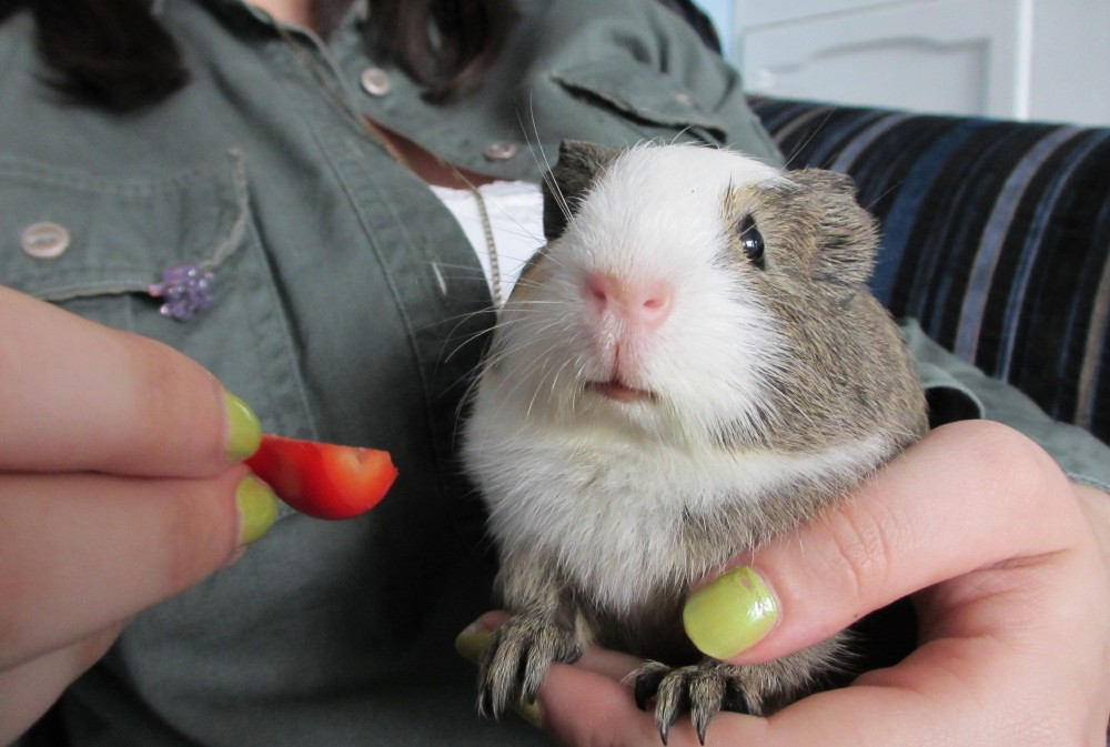 Guinea Pigs Do Grieve (And How You Can Help Your Piggy) (1/3)