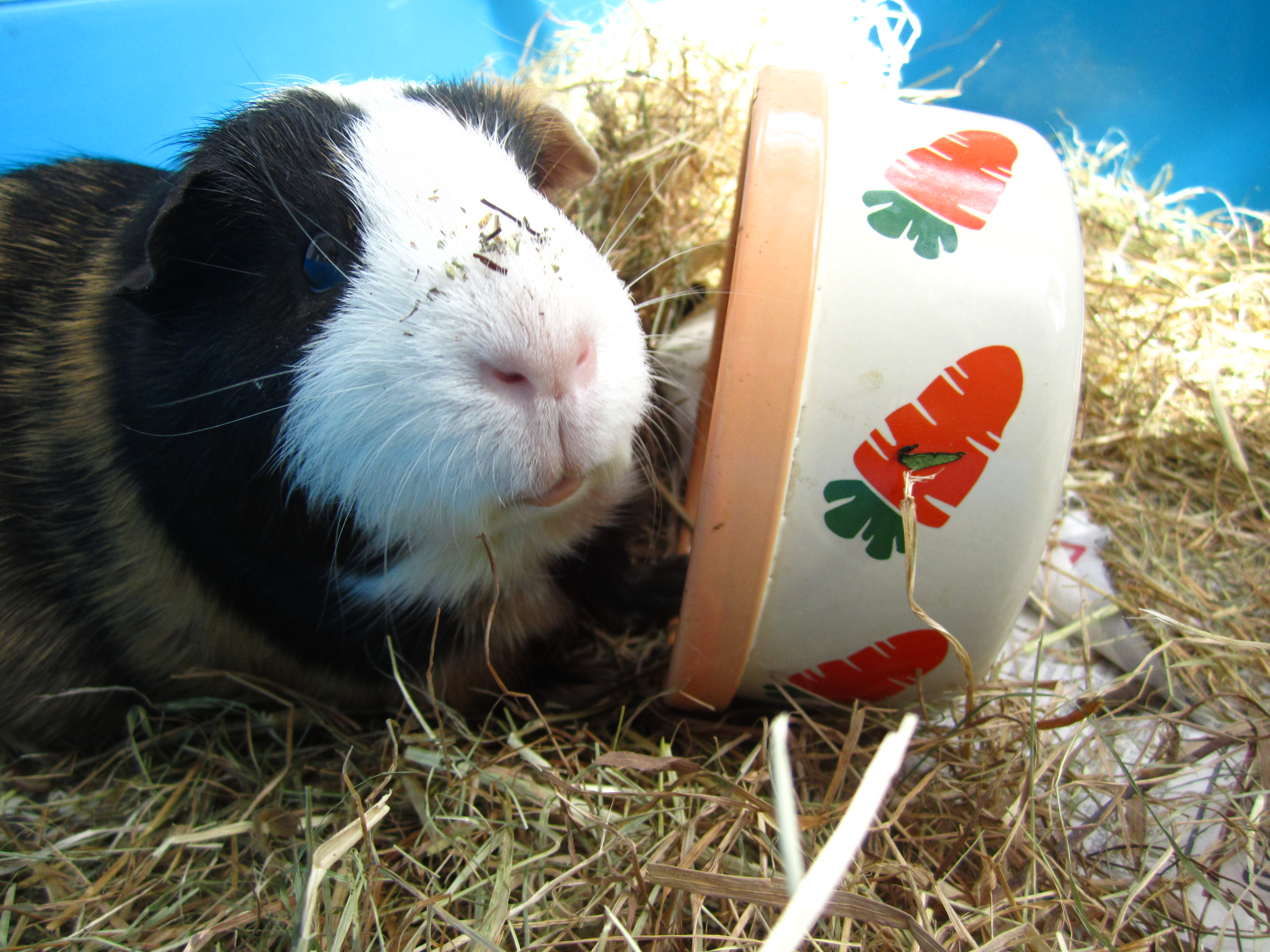can guinea pigs eat apple seeds | Hutch A Good Life
