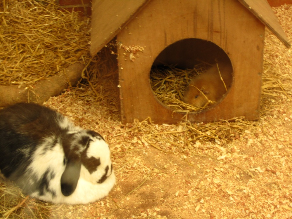 Guinea Pigs And Rabbits - Right Or Risky? (4/6)