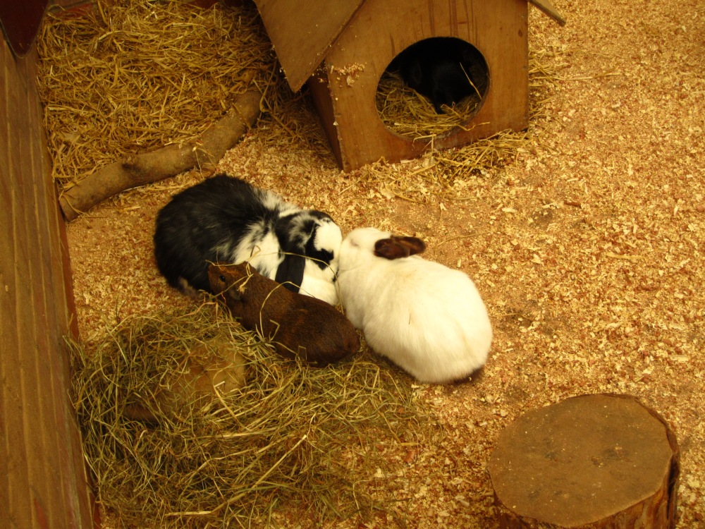Guinea Pigs And Rabbits - Right Or Risky? (6/6)