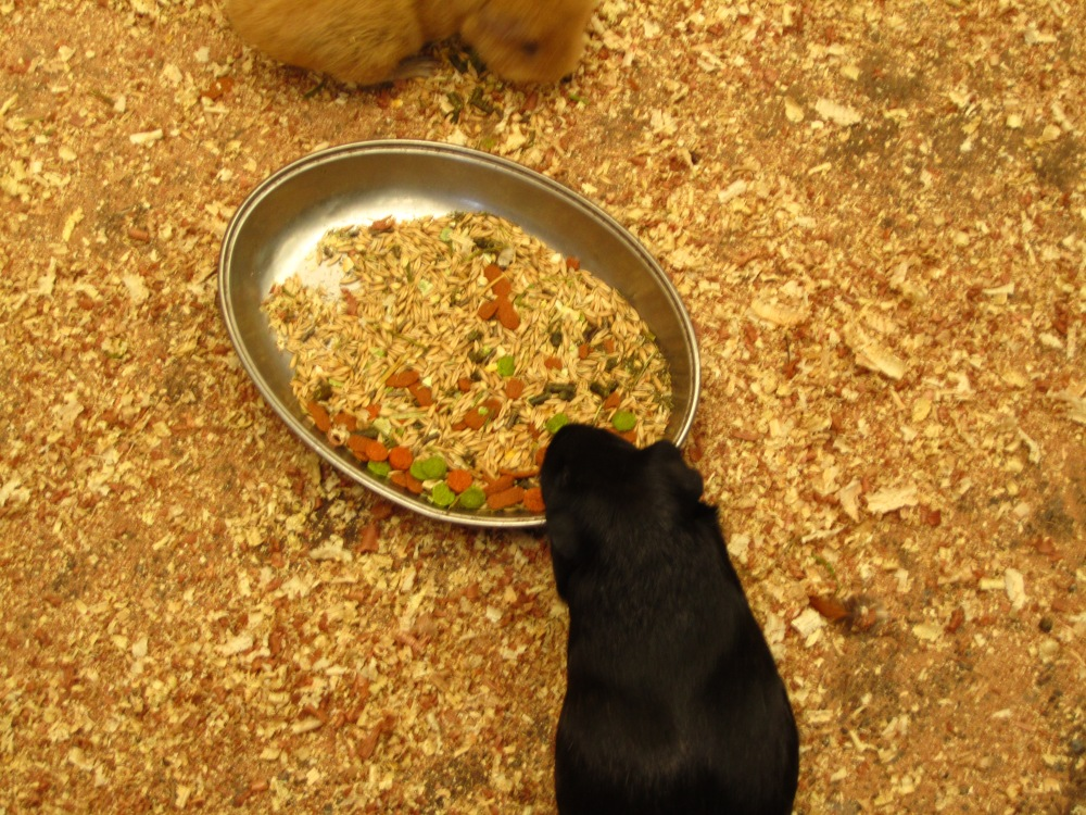 Guinea Pigs And Rabbits - Right Or Risky? (5/6)
