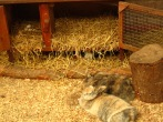 Rabbits snuggling, piggies hiding under hutch and eggs in the hutch?!