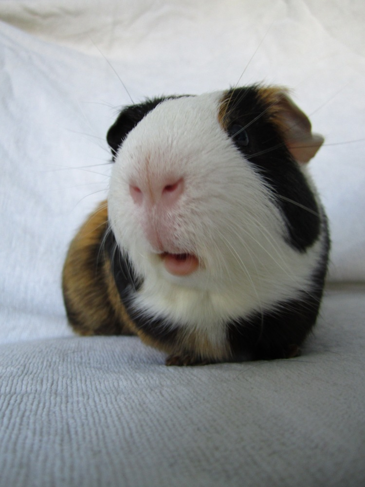 Guinea Pigs And Rabbits - Right Or Risky? (1/6)